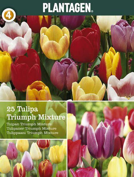 Triumph-tulppaani