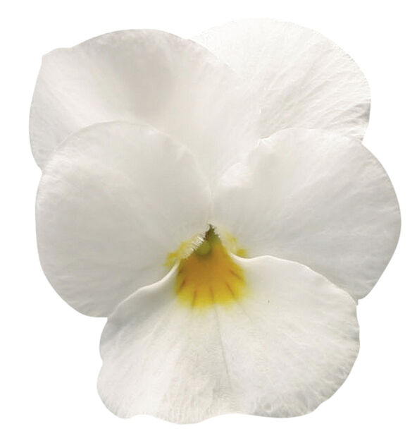 Viola small fl. White fl. 6-pack