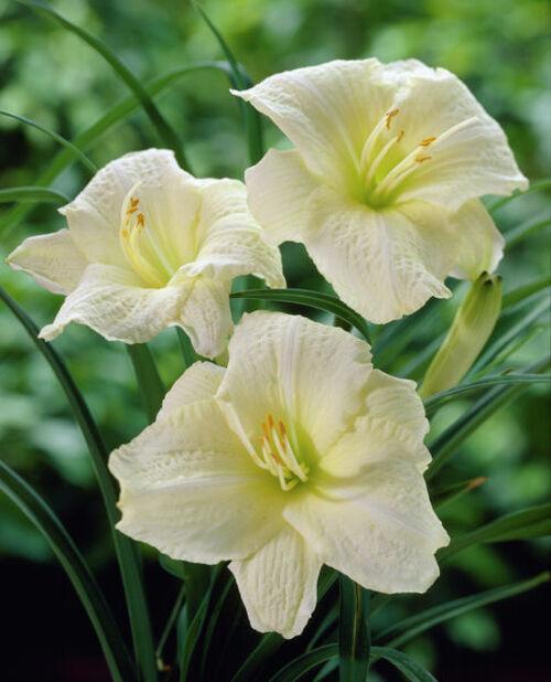 Tarhapäivänlilja , Korkeus 15 cm, Valkoinen