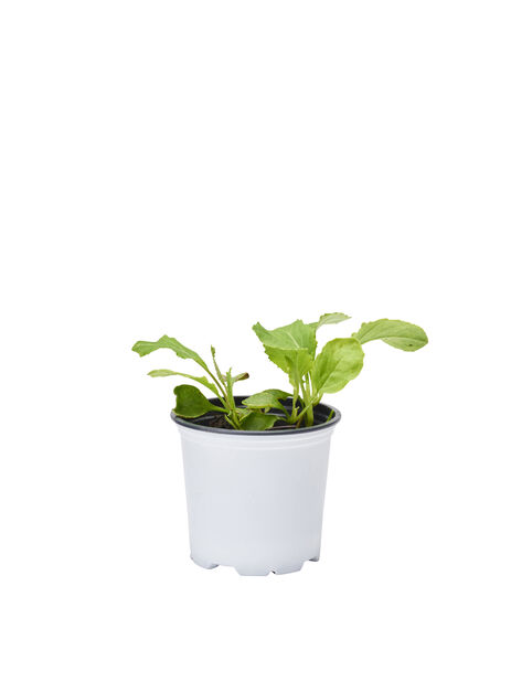Kukkakaali 'Goodman', taimet