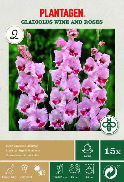 Suurikukkainen gladiolus 'Wine and Roses', Pinkki