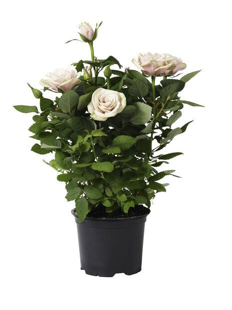 Ruukkuruusu , Korkeus 40 cm, Pinkki