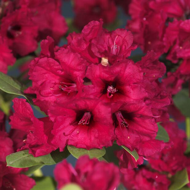 Alppiruusu `Red devil`, Ø23 cm, Punainen