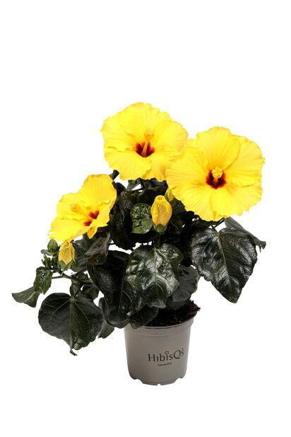 Kiinanruusu, Korkeus 25 cm, Keltainen
