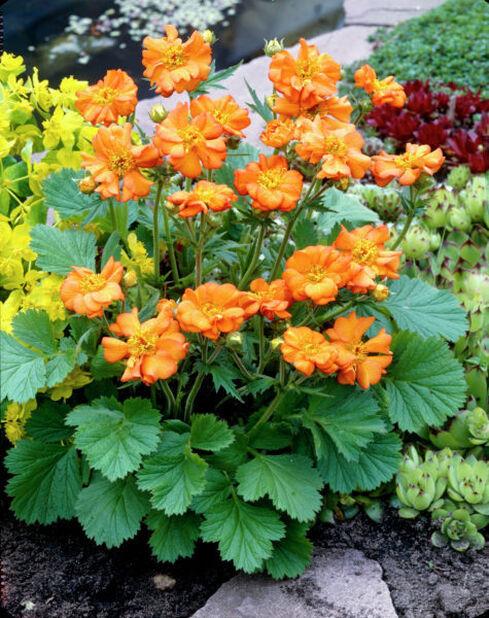 Tulikellukka , Korkeus 15 cm, Oranssi