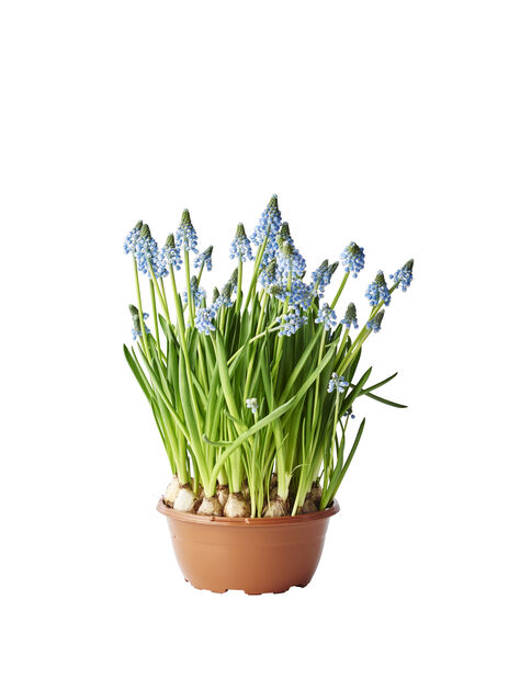 Helmililja, Ø17 cm, Sininen