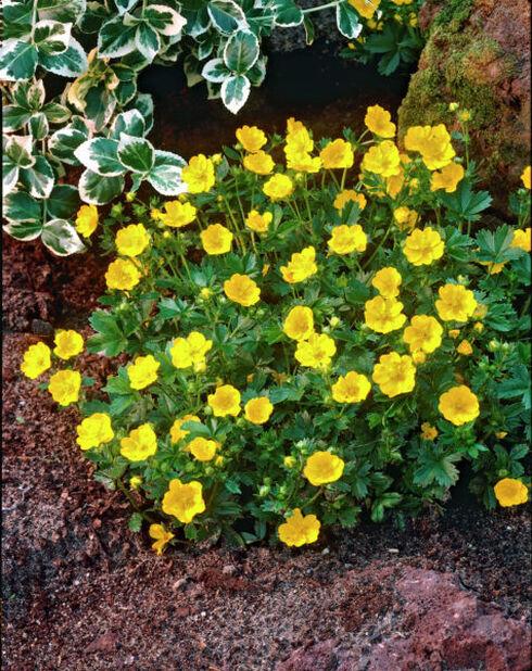 Rönsyansikka, Korkeus 15 cm, Keltainen