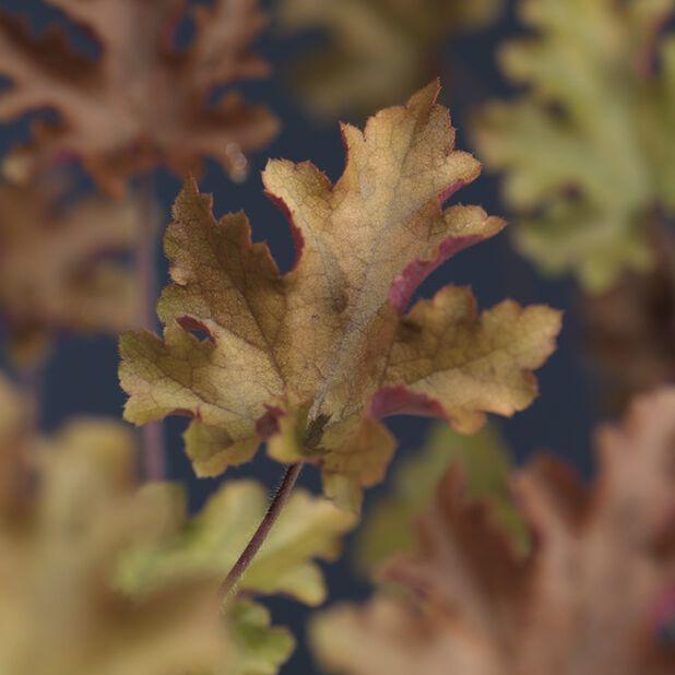 Keijunkukka, Korkeus 25 cm, Keltainen