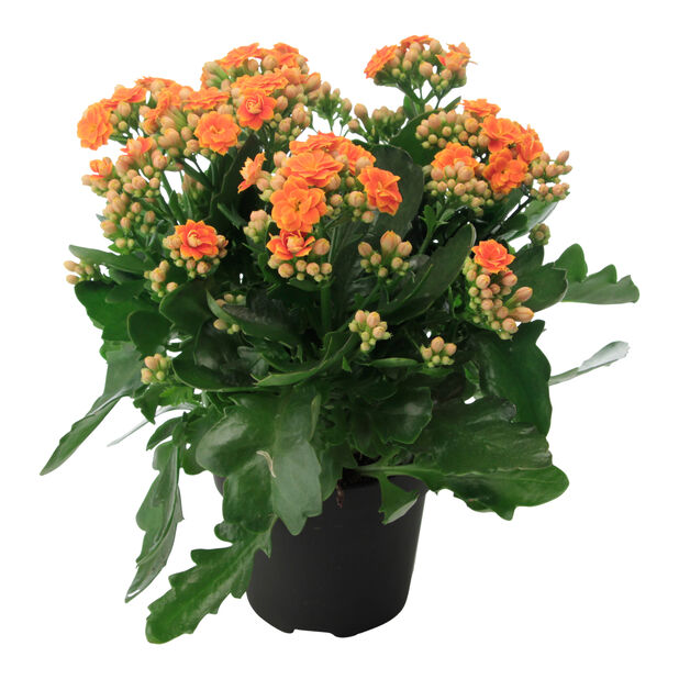 Tulilatva, Korkeus 30 cm, Oranssi