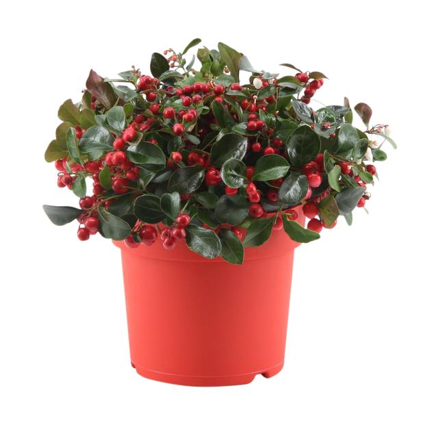 Lamosalali 'Big Berry', Ø17 cm, Punainen
