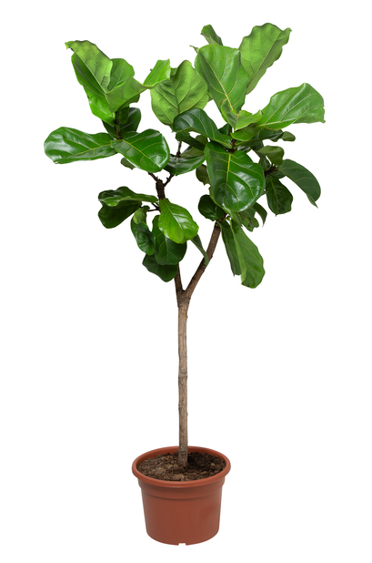 Lyyraviikuna, Korkeus 150 cm, Vihreä