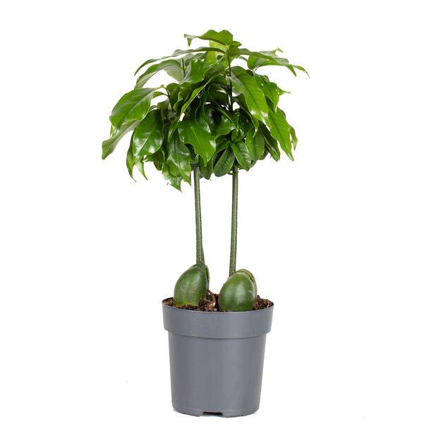 Puupapu, Korkeus 25 cm, Vihreä