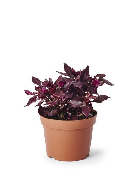 Loistokaijalehti 'Choco Chili', Ø12 cm, Violetti