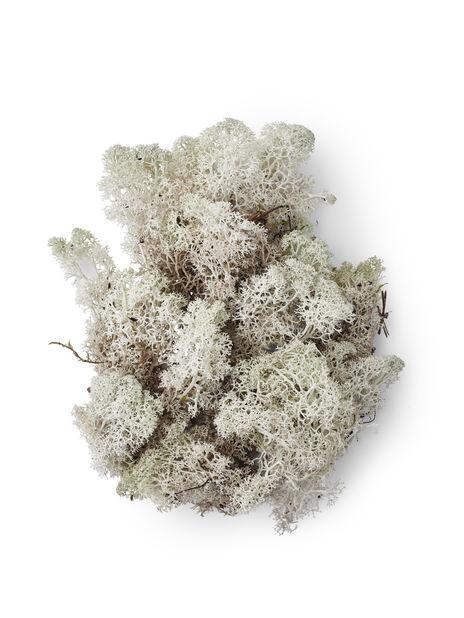 Jäkälä, Korkeus 25 cm, Valkoinen