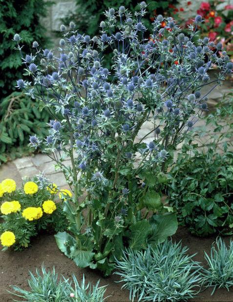 Sinipiikkiputki , Korkeus 15 cm, Sininen