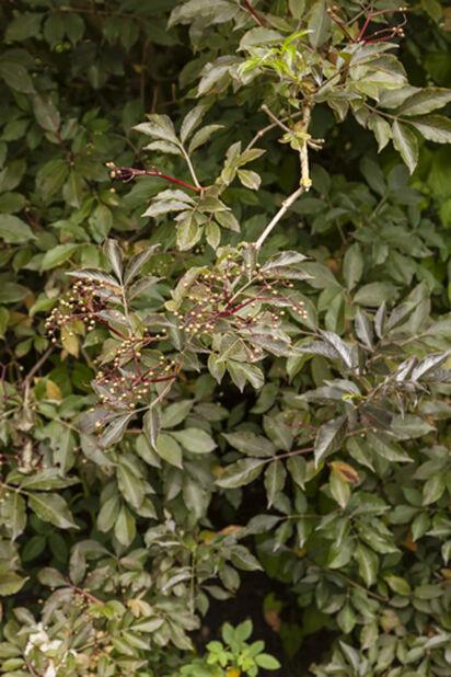 Mustaselja, Korkeus 50 cm, Valkoinen