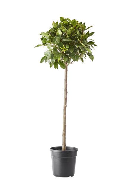 Rungollinen laakeripuu, Ø18 cm, Vihreä