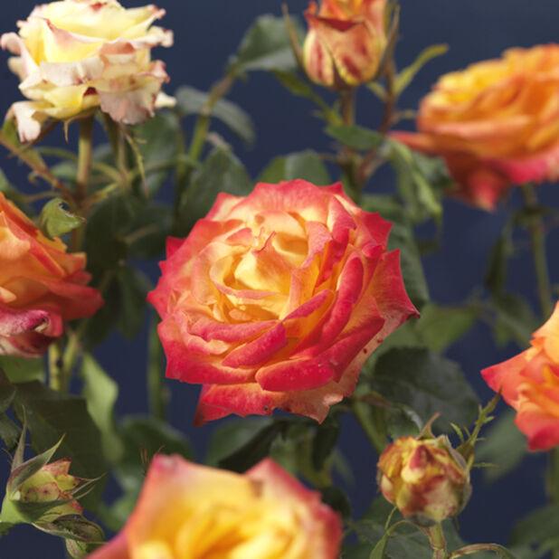 Terassiruusu 'Mandarina Flower Circus', Ø19 cm, Oranssi