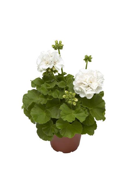 Calliope-pelargoni, Ø12 cm, Valkoinen