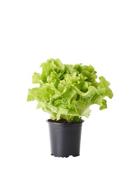 Salaatti, Ø10.5 cm, Monivärinen