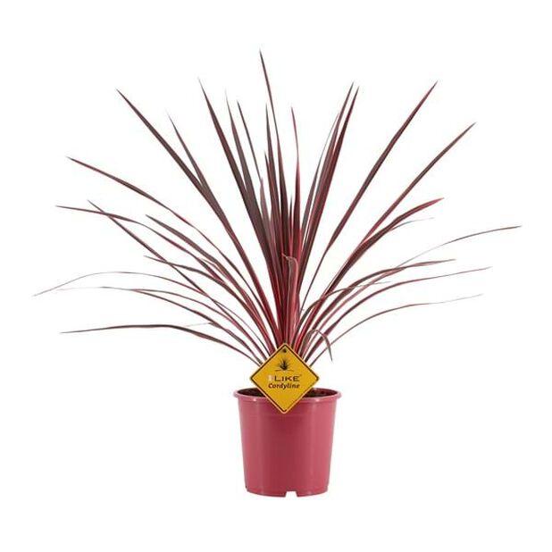 Viherliljapuu 'Charlie Boy', Ø17 cm, Monivärinen