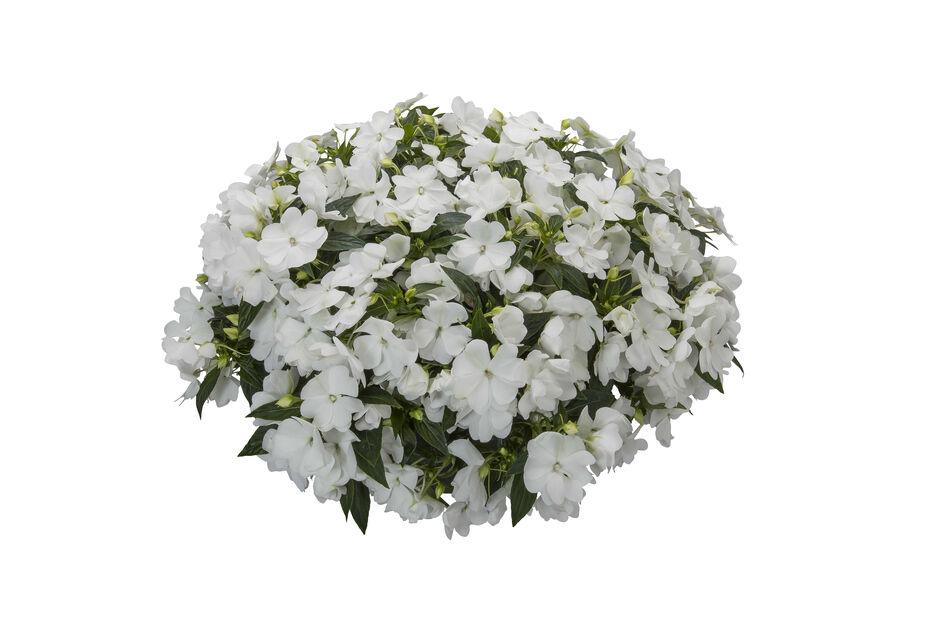 Sateenkaaripalsami 'Spectra White', Ø12 cm, Valkoinen
