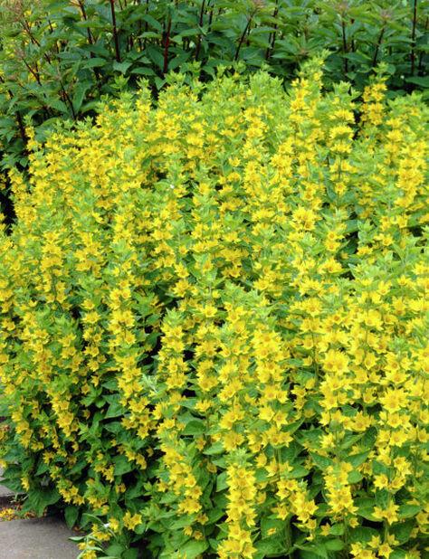 Tarha-alpi , Korkeus 15 cm, Keltainen