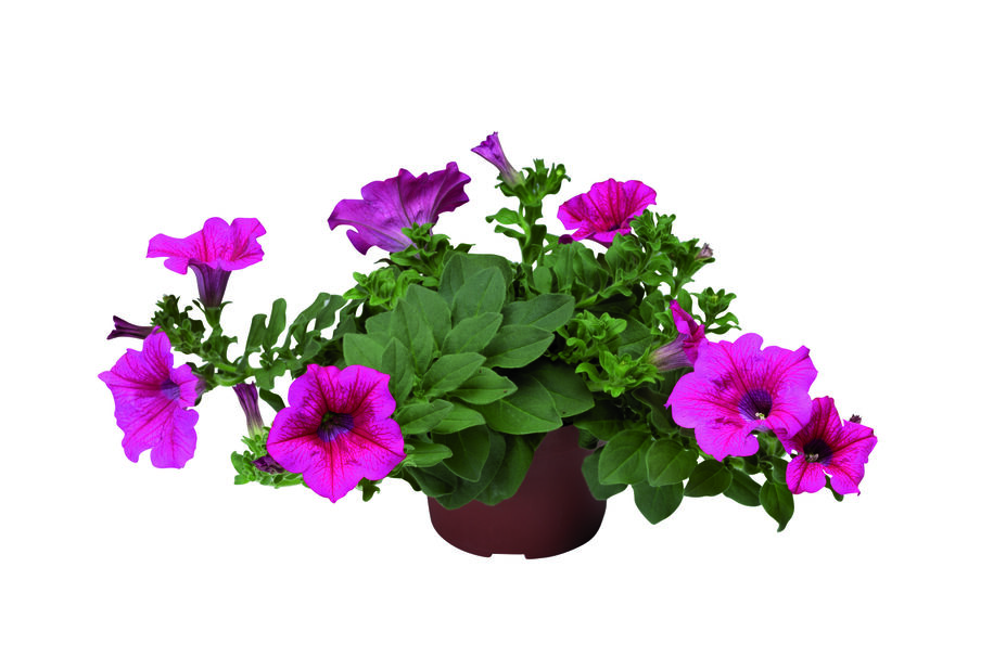 Petunia h. Patio Pink 12 cm