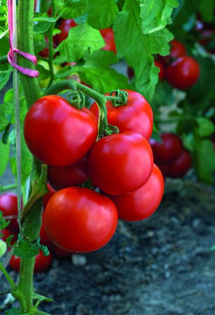 Tomaatti 'Torino', Ø10.5 cm, Punainen