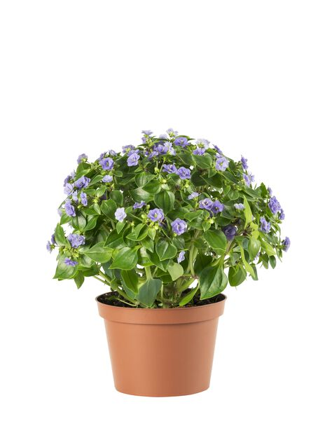 Sinisilmä 'Sapphire', Korkeus 24 cm, Sininen
