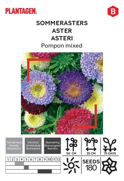 Asteri 'Pompon'
