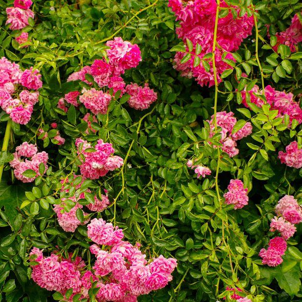 Köynnösruusu 'Zephirine Drouhin', Korkeus 100 cm, Pinkki