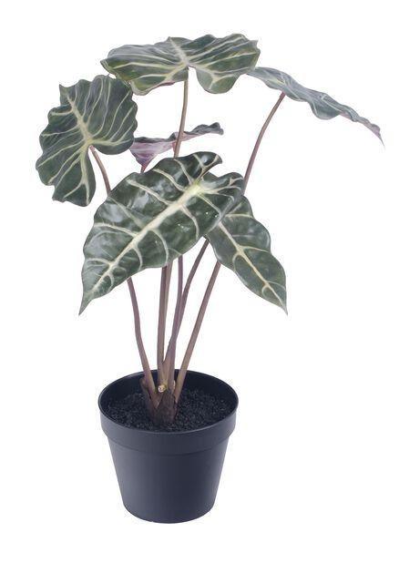 """Alokasia """"Amazonica"""" tekokasvi , Korkeus 41 cm, Vihreä"""