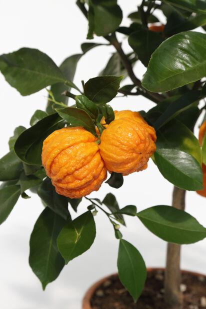 Appelsiini 'Corrugata', Ø19 cm, Oranssi
