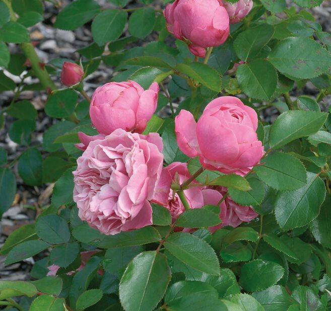 Ruusu 'Leonardo da Vinci', 4L