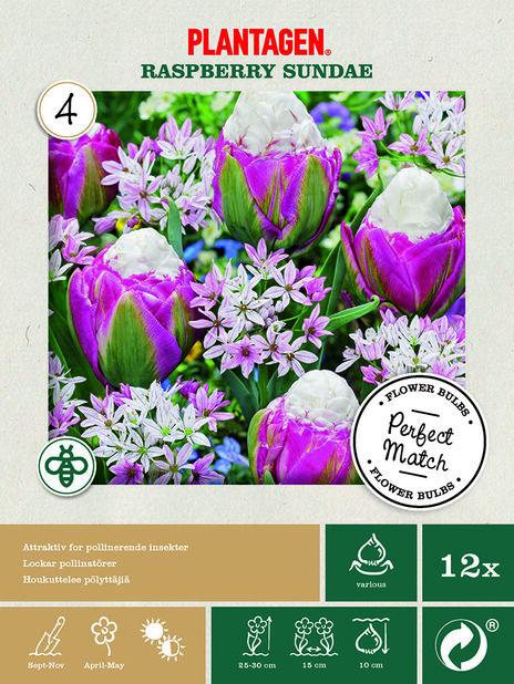 Kukkasipulilajitelma 'Rasberry Sundae'