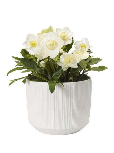 Jouluruusu, Ø13 cm, Valkoinen