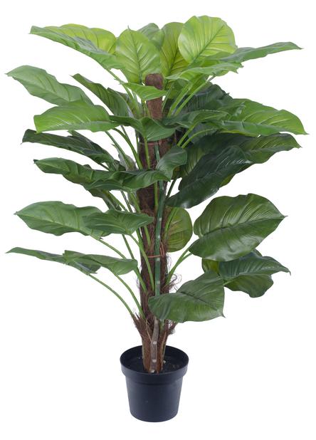 Aureum tekokasvi , Korkeus 120 cm, Vihreä