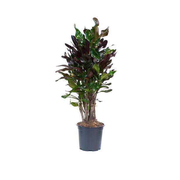 Ihmepensas 'Marney', Korkeus 60 cm, Viininpunainen