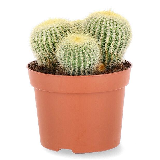 Pyöreä kaktus, Korkeus 20 cm, Vihreä