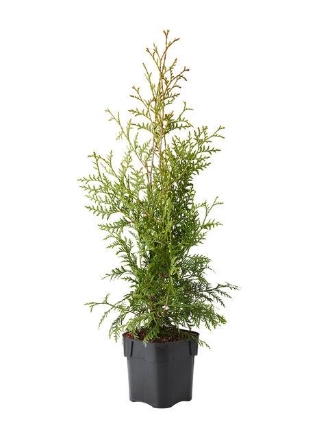 Kartiotuija 'Brabant', Korkeus 50-70 cm, Vihreä