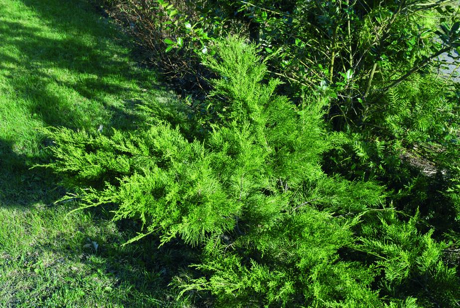 Tarhakataja 'Mint Julep', Ø22 cm, Vihreä