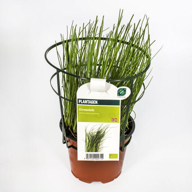 Ruohosipuli, Ø10.5 cm, Vihreä