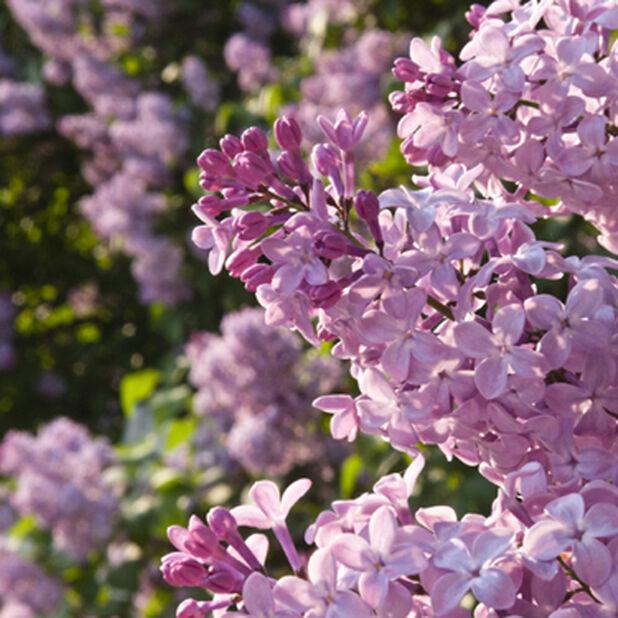 Syringa vulgaris Amethyst 40-60 4,5L pink-violett