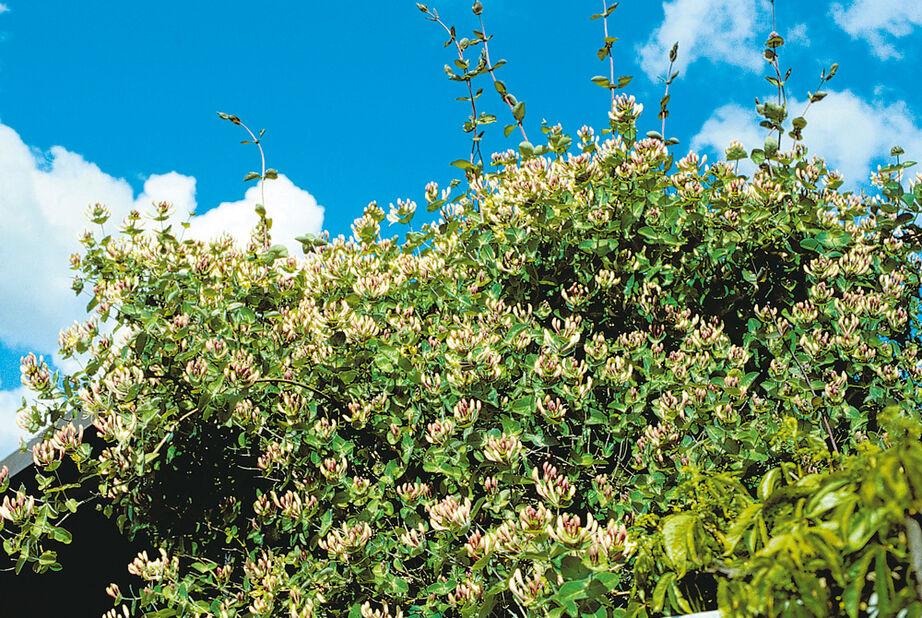 Ruotsinköynnöskuusama, Korkeus 70 cm, Monivärinen