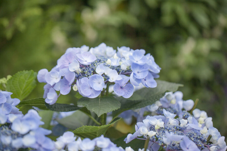 Jalohortensia rungollinen, Korkeus 85 cm, Sininen