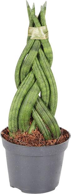 Miniviherkasvi-lajitelma, Korkeus 12 cm, Vihreä
