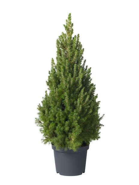 Picea glauca 'Conica' 26 cm