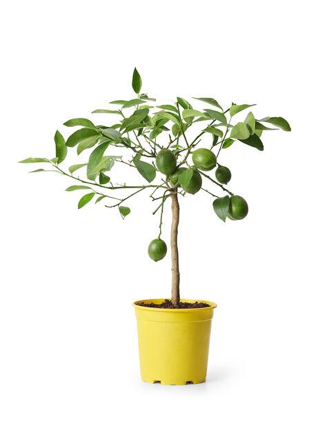 Rungollinen sileäkuorisitruuna, Ø21 cm, Keltainen