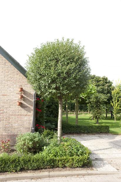 Prunus emin. 'Umbraculifera' 12L